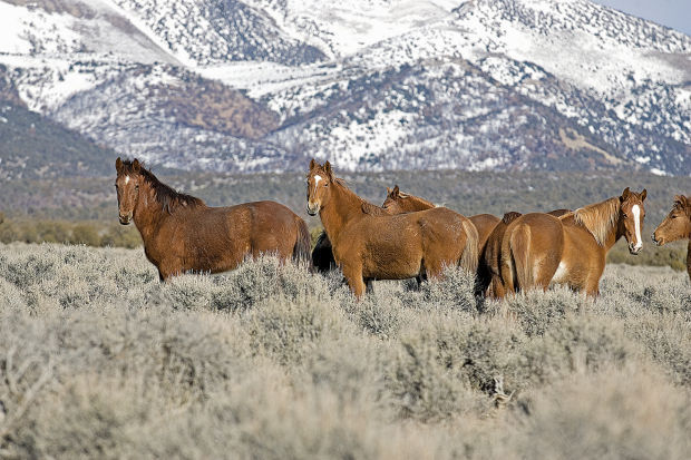 US agency ends Nevada mustang fertility project   American Wild ...