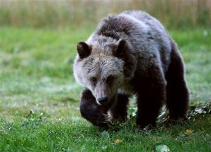 Man attacked by grizzly bear in northwestern Wyoming