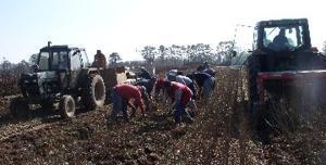 Harvesting seedlings