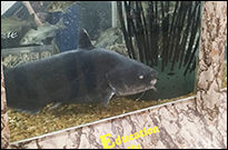 <p>Super-sized catfish are popular in Arkansas Game & Fish Commission traveling exhibits.</p>