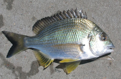 Bream are biting on lake columbia sports for Millwood lake fishing report