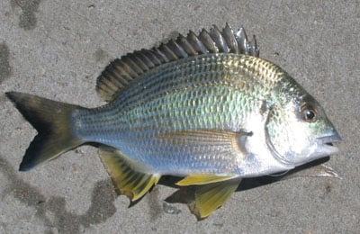 Bream are biting on lake columbia sports for Arkansas game and fish fishing report