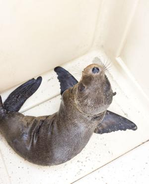 sea lion pup in cage