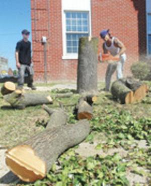 Courthouse crabapple tree comes down
