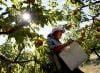 Peaches in Paradise: Hot weather produces bumper crop at Forbidden Fruit Orchard