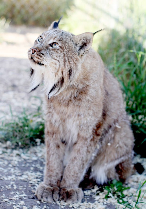 stevensville couple have big love for pet lynx bobcats