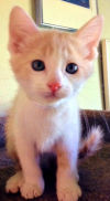 Humane Society pet of the week: Spunky John Copper has big personality for little kitten