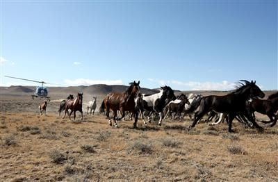 Federal agency announces 2015 wild horse roundups   Local ...
