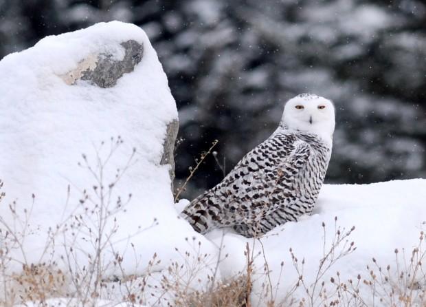 123112 Snowy Owl Hometown1 Jpg