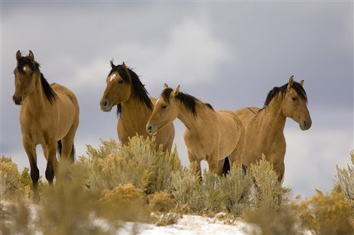 Federal Agency Votes To Slaughter 65% Of US Wild Horses -