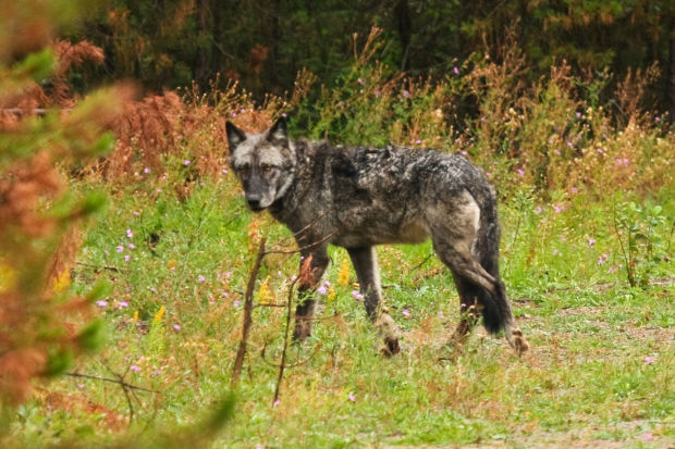 The alpha female of the Cache Creek Pack