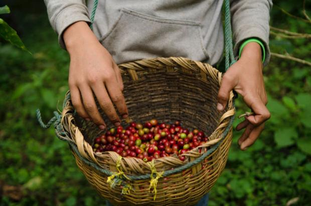 socioeconomic effects of coffee trade on The development of coffee in costa rica: early economic and social effects reliance on coffee in costa rica was always as strong as in surrounding central american countries, but its development followed a democratic, egalitarian path not seen in other nations.