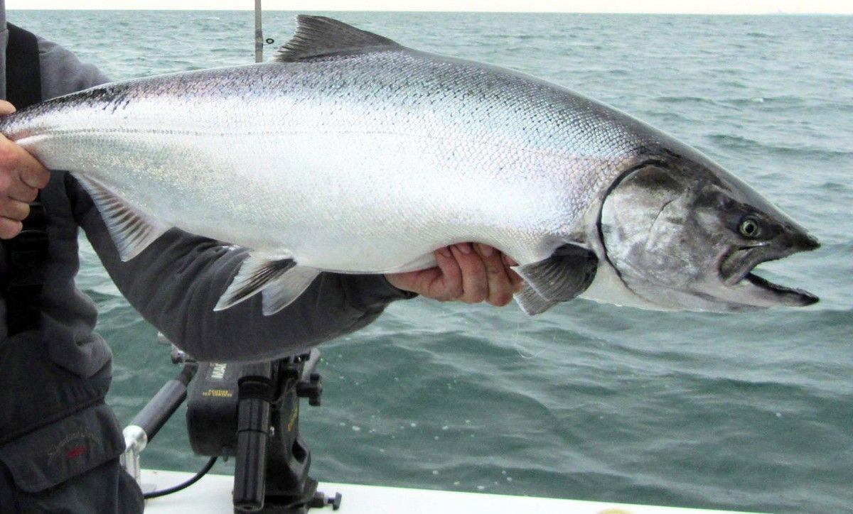 Idaho may restart its spring chinook season outdoors for Salmon fishing in idaho