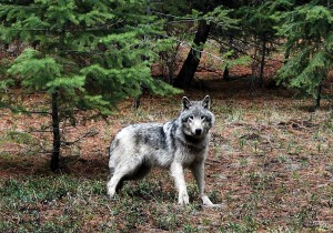 Montana S Wolf Trapping Plan Draws Huge Public Response