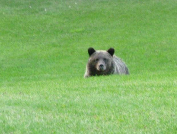 Grizzly populations