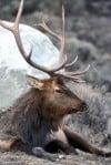 Elk are one of Montana's wildlife success stories