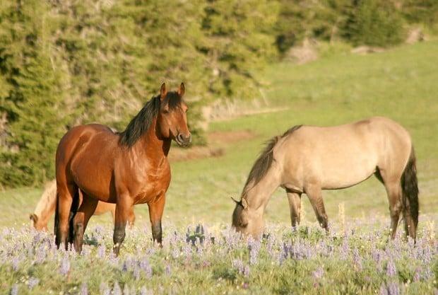 Blm Corrals Wild Pryor Mustangs In Montana Wyoming