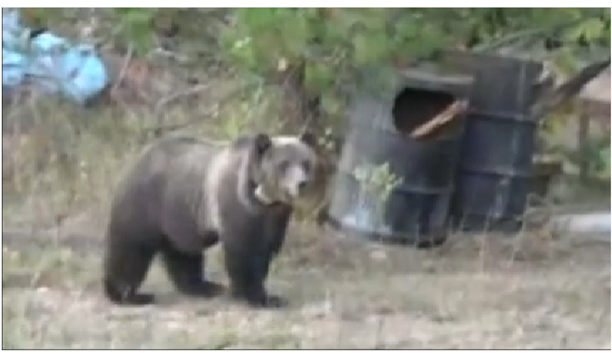 Lost montana grizzly bear killed by idaho hunter montana for Idaho fish and game hunter report