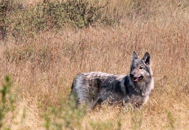 This Wolf Was Spotted In The West Fork Of The Bitterroot