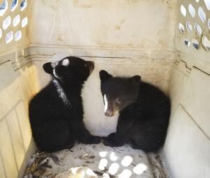 Orphaned black bear cubs captured 1 day after car crash