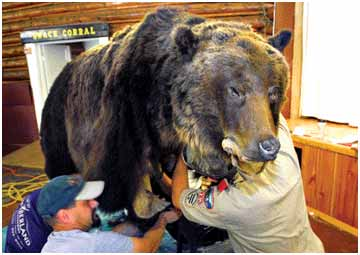 Grizzly Feature Taxidermists Head To Lincoln To Work On