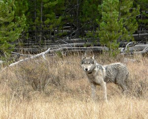 Wolf delisting