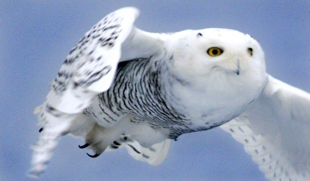 Snowy Owl  Demography and Populations  Birds of North