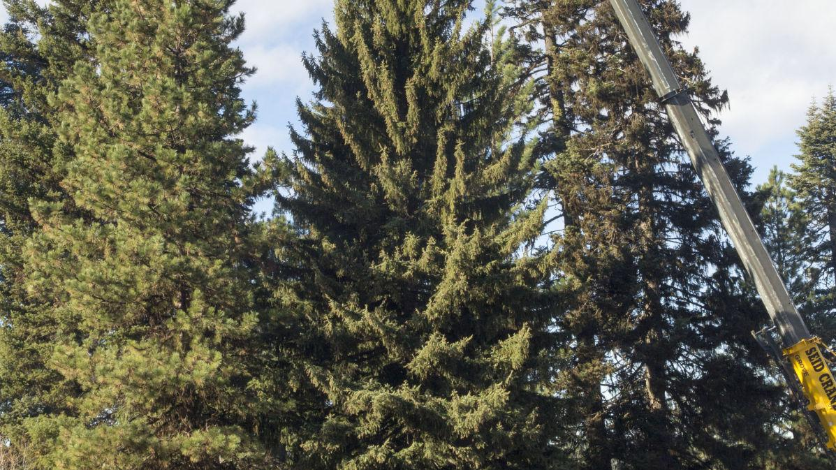 U.S. Capitol Christmas Tree cut in Idaho forest