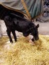 Cody and Joe are nursing a calf