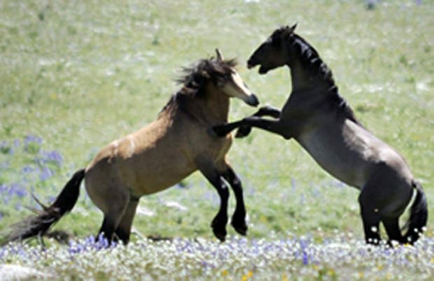 Wild horses arrive - 700 geldings expected on the Ennis ranch by end of March