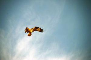 Osprey ed: A bird's-eye lesson in the field