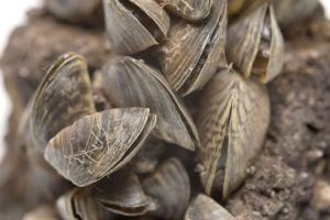 Glacier park easing boating restrictions due to mussels