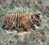 Tiger Woops
