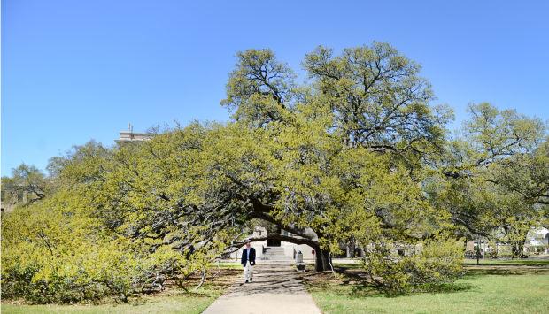 Century Tree1