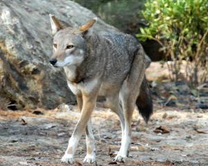 Red wolf dies at Salisbury Zoo