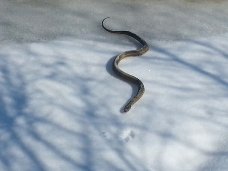snake makes a rare winter appearance queen annes county