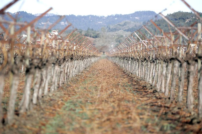 Iconic Napa Valley blossoms in short supply this winter