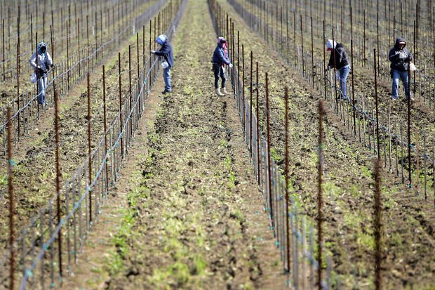 Soil dry but rainfall normal at Napa Valley vineyards