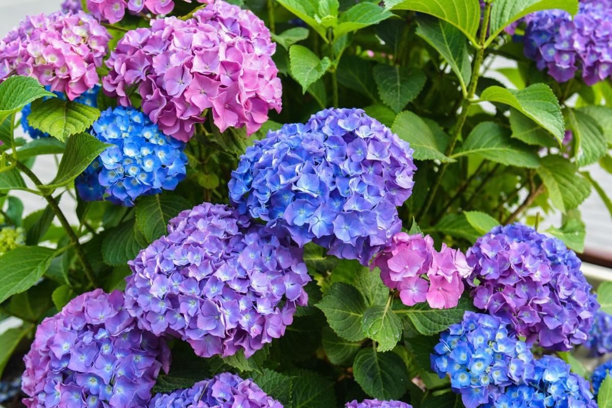 how to grow hydrangeas master gardener. Black Bedroom Furniture Sets. Home Design Ideas