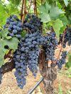 Napa grape harvest volume down, prices up