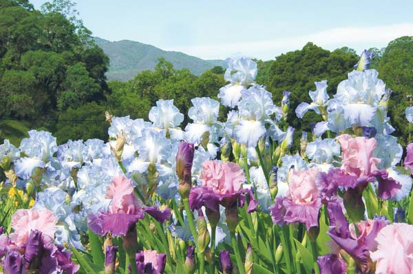 Flowers In Bloom As Napa Valley Iris Gardens Open Home