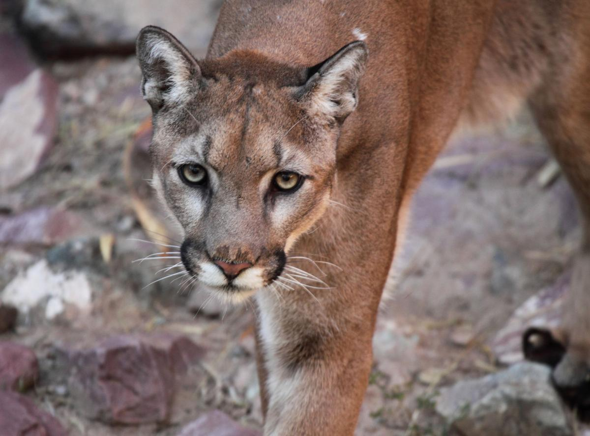 Wildlife officials confirm mountain lion snatched pet off for California department of fish and wildlife jobs