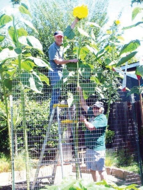 Cream Of The Crop Mammoth Sunflower Home And Garden