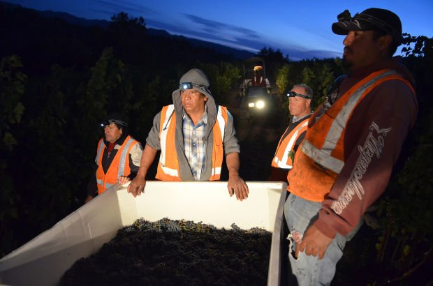 Workers labor into the night to bring in this year's Spring Mountain grapes