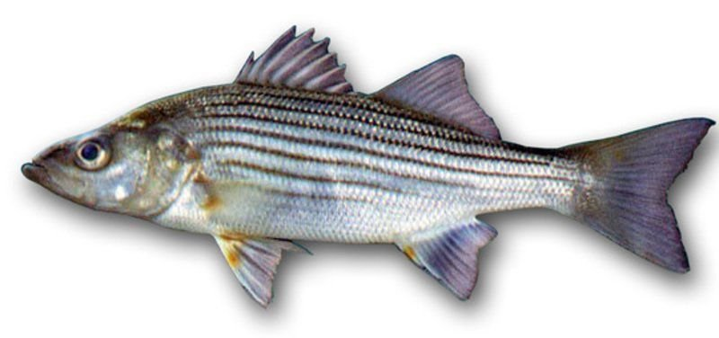 More liberal rules might come to US striped bass fishery