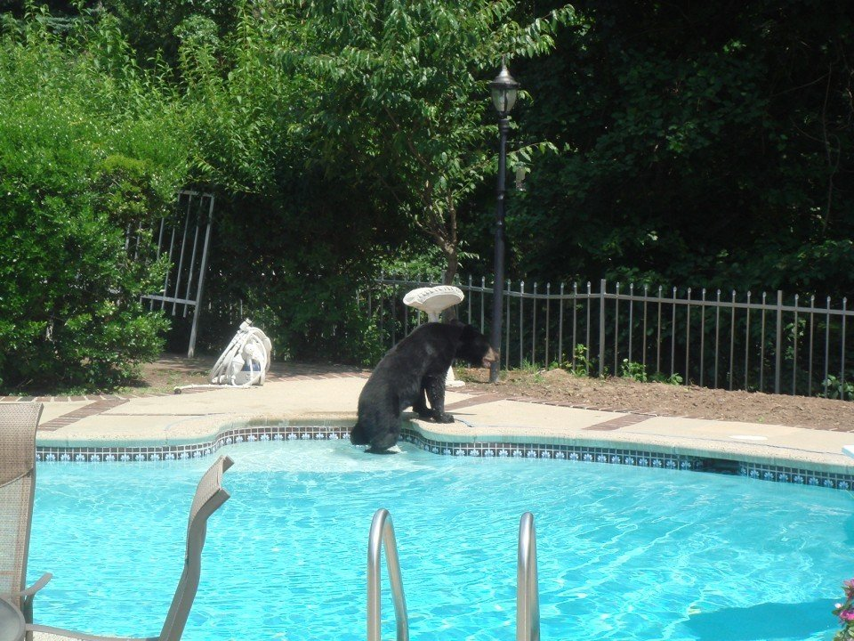 Bear Cools Off In North Caldwell Pool The Progress News