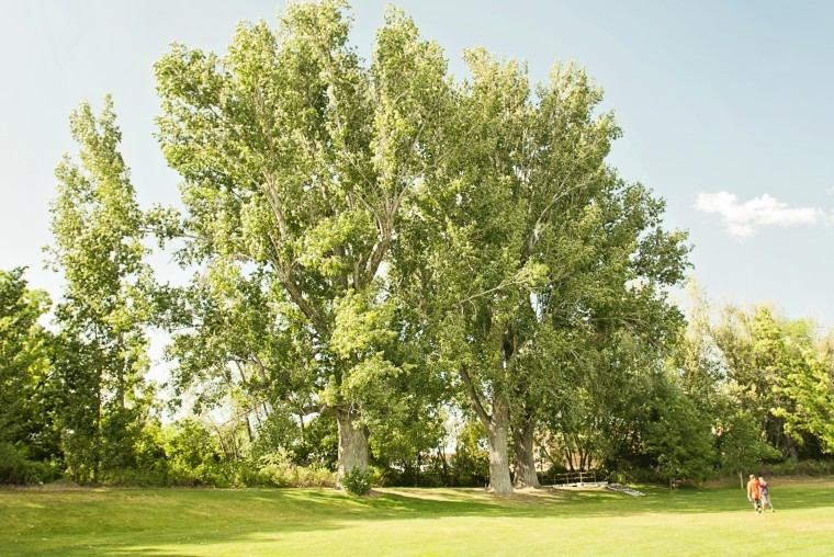 how to get rid of cottonwood trees