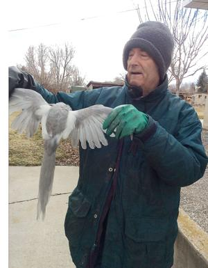 <p>Keith Thompson displays a discolored magpie he found dead in the back yard of his Providence home.</p>