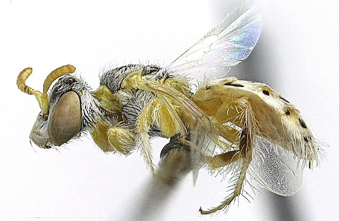 Nine new 'ant-like' bee species found in Utah