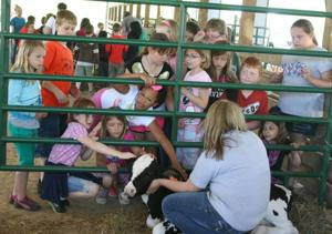 Students pet dairy calf